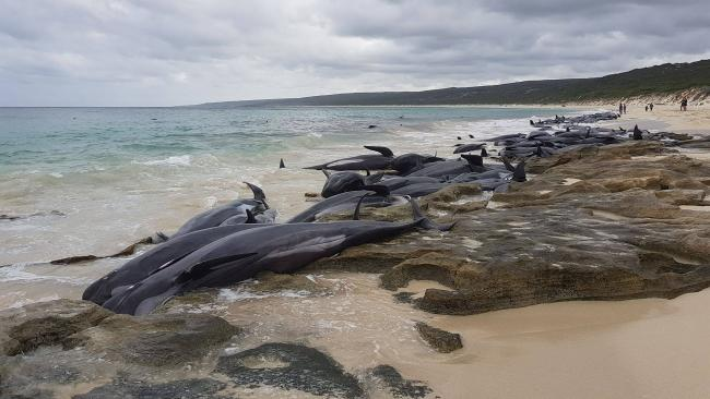 Dozens of whales were washed up ashore in Hamelin Bay. Photo credit: Leaarne Hollowood.