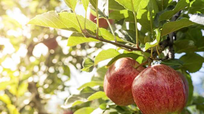 WHAT'S GOOD: Apple season has arrived on Southern Downs