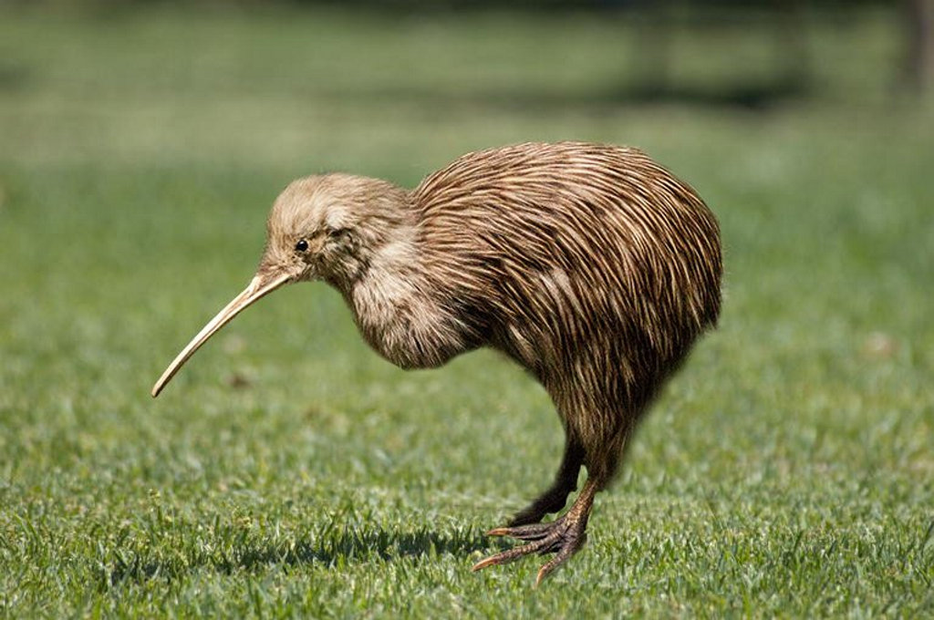 Image result for kiwi bird""