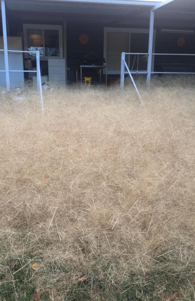 The tumbleweed at peak plague. Picture: Leanne Gloury