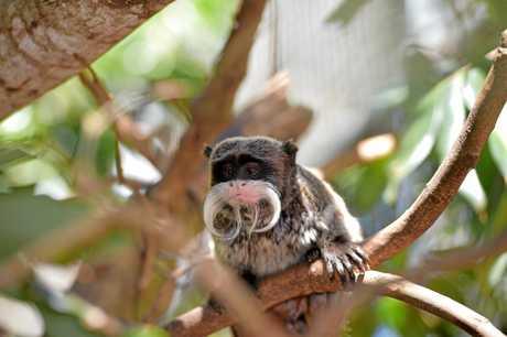 This emperor Tamarin monkey