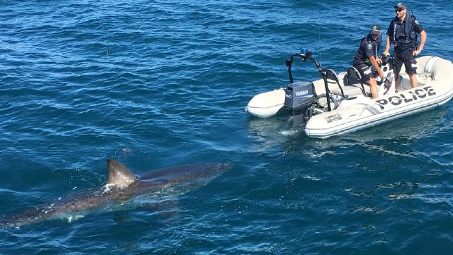 Police had a casual look at the curious shark. Picture: SAPOL.