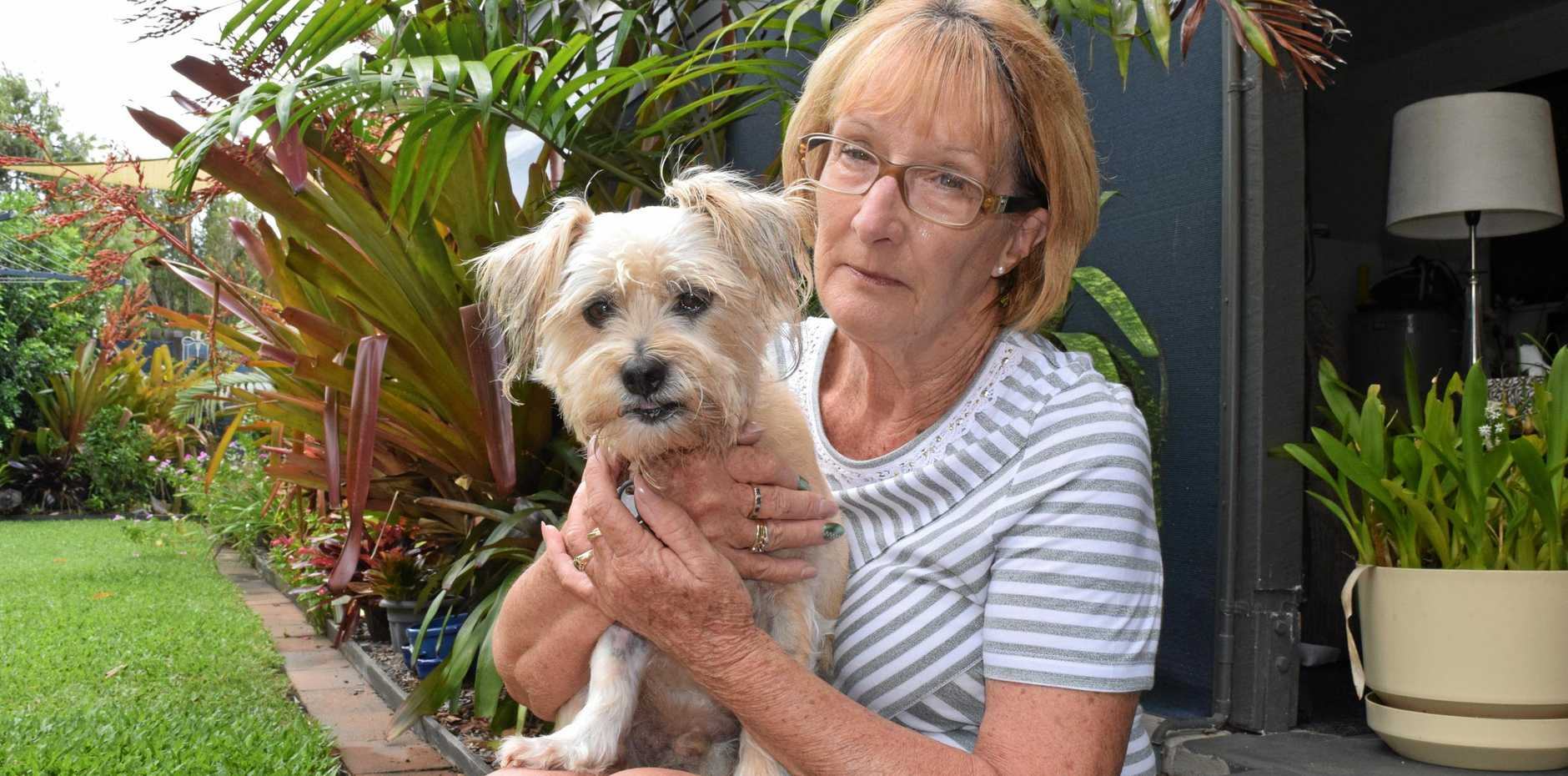 Danny, a silky maltese, was attacked by two large dogs while at an off-leash beach with his owner, Margaret Hodgson. INSET: Danny's injury.