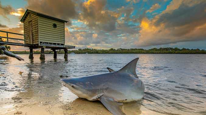 A 1.2m bull shark was pulled from the Maroochy River near Bradman Ave on Easter Sunday. Caught by a Buderim man.