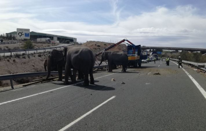 Spanish police released this photo of elephants milling around on a Spanish highway after a circus truck crashed.