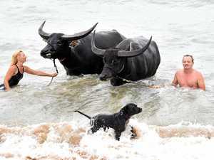 WATCH: Water buffalo take a dip in the Bay
