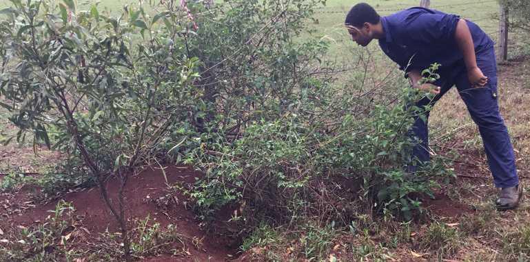 QMDC officer Lachlan Marshall inspects rabbit warrens near Highfields.