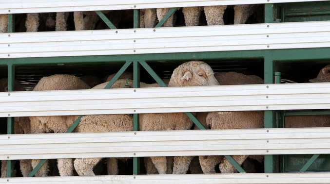 Australia's exporting of live animals has once again been called into question. Picture: Stephen Laffer