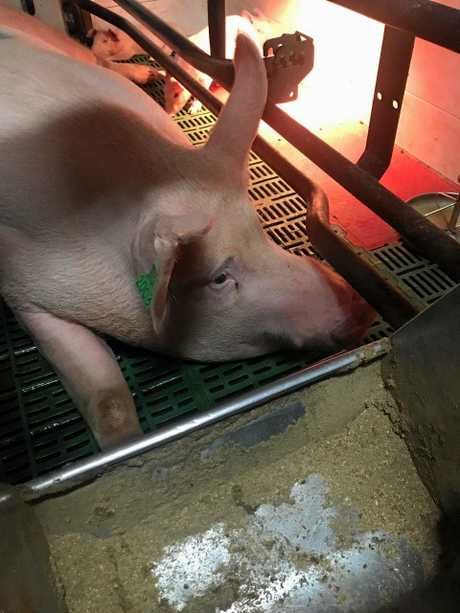 Activists have refused to leave a Sunshine Coast farm's piggery.