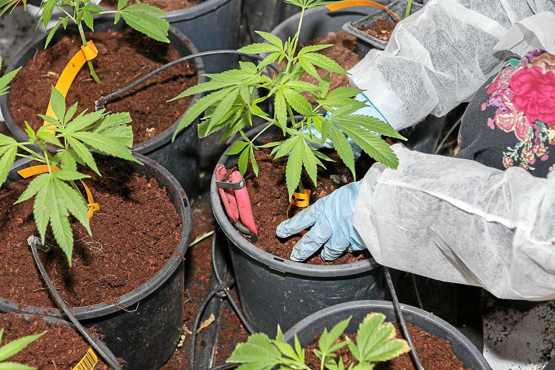 Israel's Tikun Olam has provided the mother stock for Medifarm's medicinal marijuana plants.