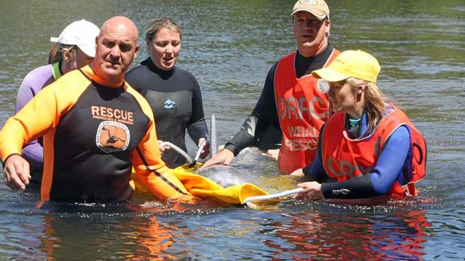 Cetacean rescue group ORRCA will run a one-day workshop at Byron Bay this month teaching people how to safely rescue stranded whales, dolphins, dugongs, and seals. Photo Contributed