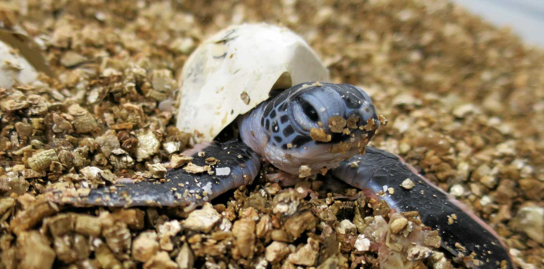 A sea turtle nest has been discovered and fenced off between Diggers Camp and Wooli. The nest contains about 80 eggs, which are due to hatch any day.