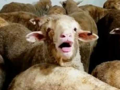 Suffocating sheep forced to die in their own filth. (60 Minutes)