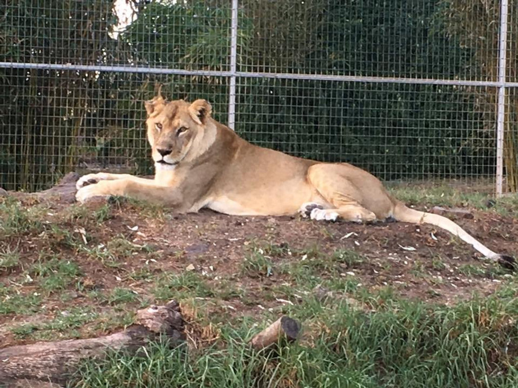 A lioness at the Darling Downs Zoo.