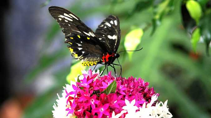 A butterfly at the Coffs Harbour Butterfly House. Photo: Leigh Jensen / Coffs Coast Advocate December 28, 2014