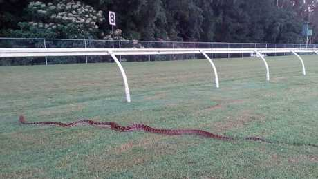 The giant python makes its way onto the course proper at Cannon Park.