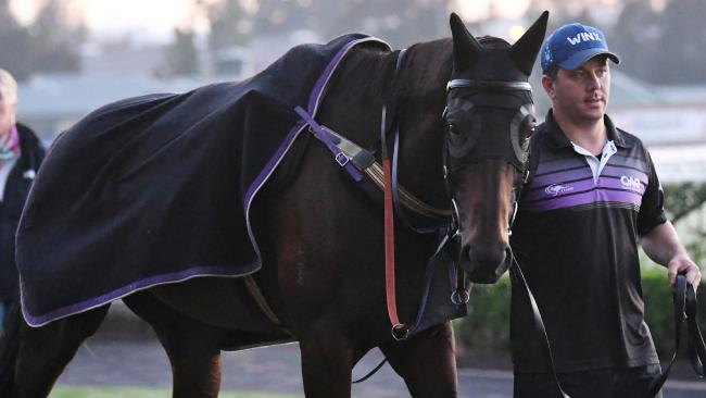 Winx is shown to the media after a morning gallop at Rosehill Racecourse on Thursday, April 12, ahead of the  $4 million Queen Elizabeth Stakes at Randwick on Saturday. Picture: David Moir/AAP