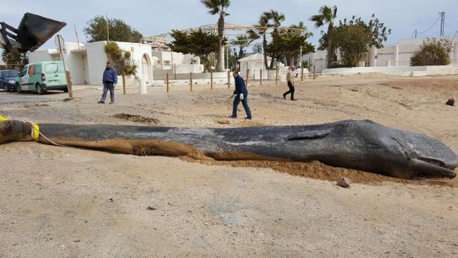 Inside the belly of the juvenile sperm whale was nearly 30 kilograms of plastic.