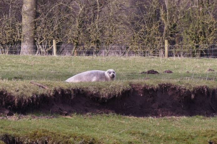 A large male seal has been spotted about 80kms inland from the coast at Topcliffe Weir.