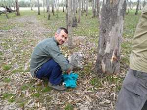 Road projects reveals koala secrets