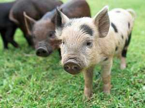 Little piggies can go all the way to your home as great pet