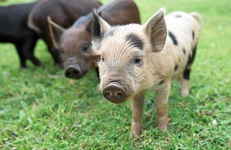 NICHE MARKET: Petite Piggies in Kyogle sells smaller breeds of pigs that are great as pets or companion animals.