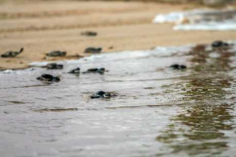 Green turtle hatchlings making their way into the ocean.