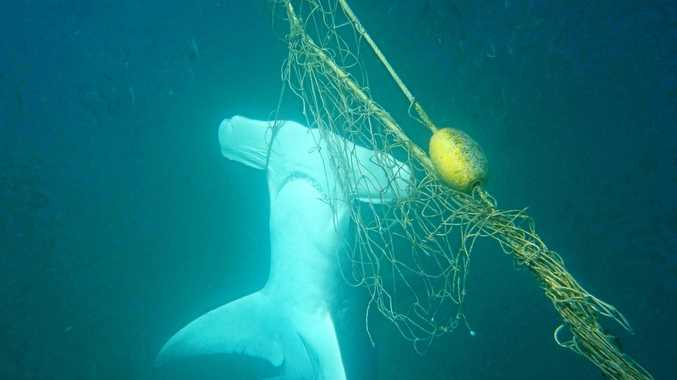 Three hammerheads were found dead in the nets during March 2018. (AAP Image/Sea Shepherd Australia) NO ARCHIVING, EDITORIAL USE ONLY