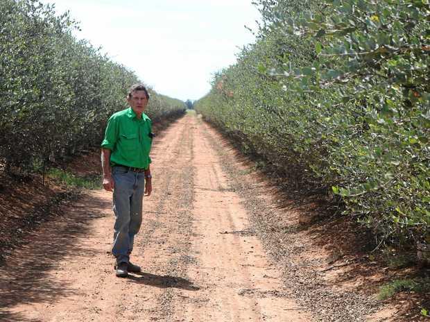 SUCCULENT SEEDS: Kim Felton-Taylor inspects the jojoba plantation.