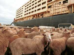 Sussan Ley to introduce bill to end live sheep exports
