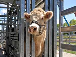 School Cattle Club granted brand new yards