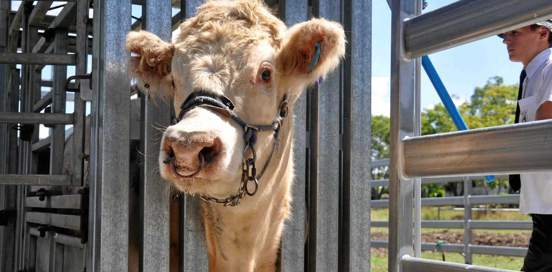 HANDS ON: Monto SHS Cattle Club members are getting valuable experience working with animals.