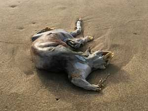 MYSTERY SOLVED: Grisly find on Coast beach mystifies locals