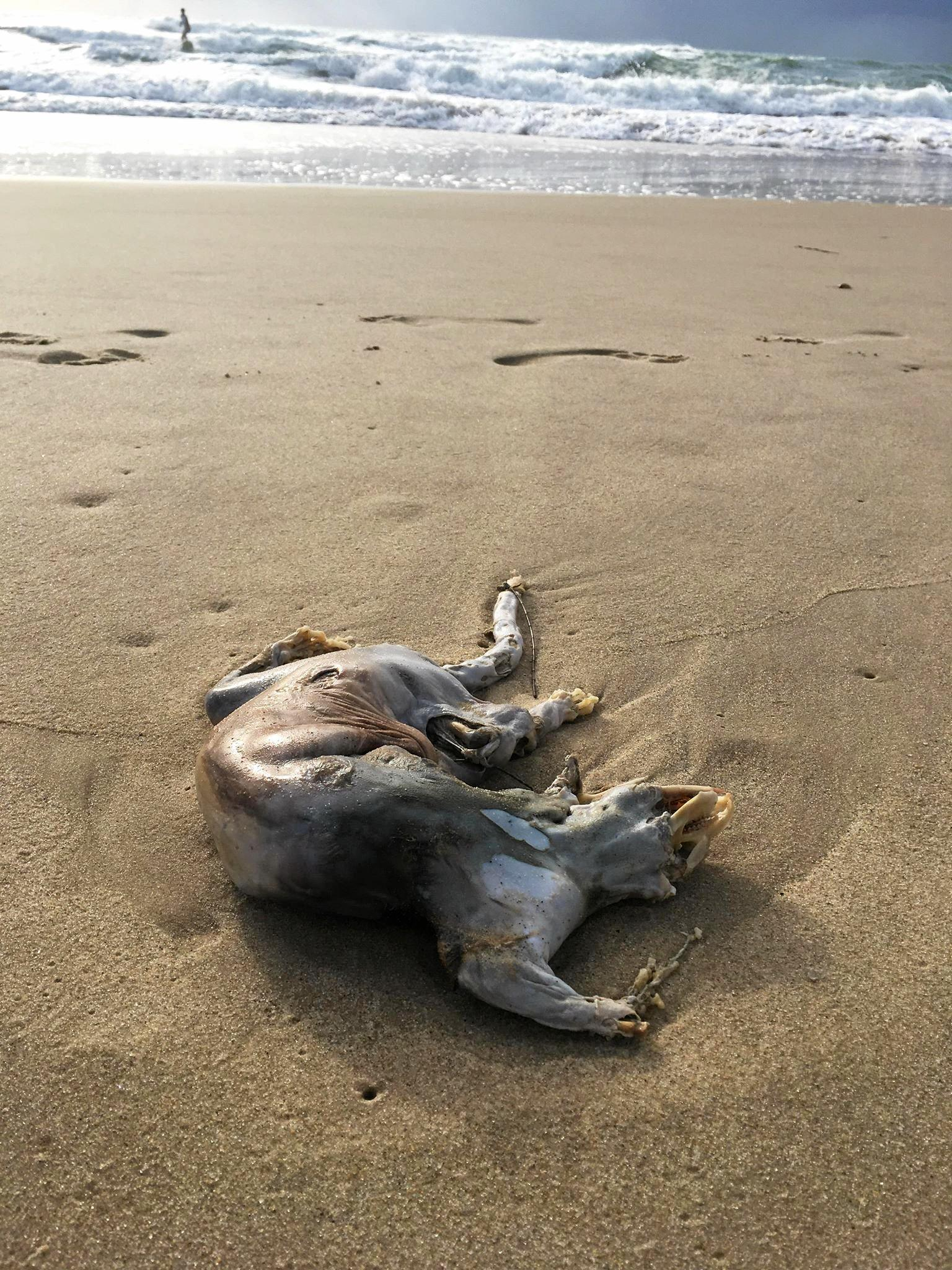 The animal carcass washed up on Maroochydore Beach.