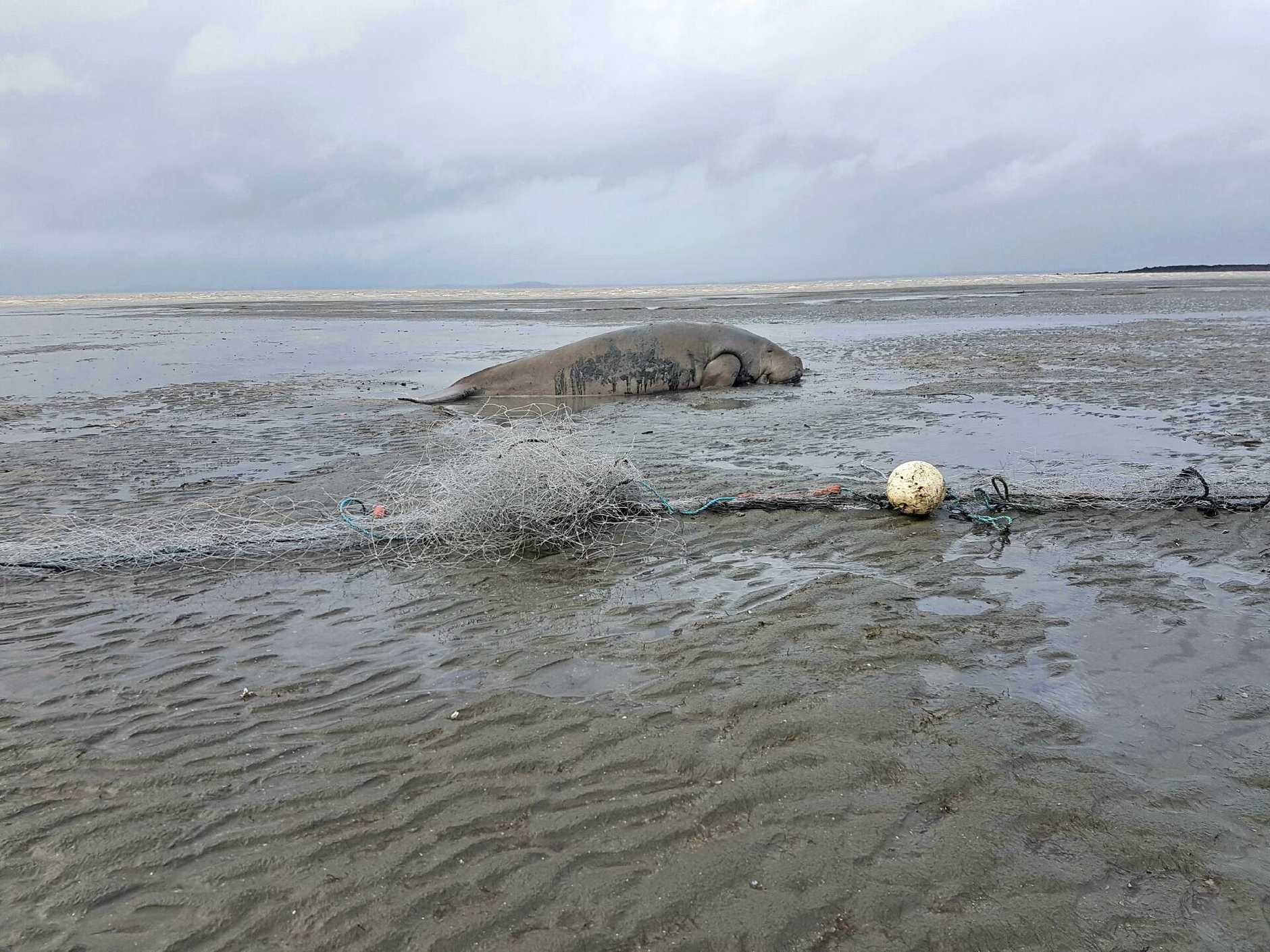 FREED: This photo, taken by an onlooker who wants to remain anonymous on April 2 at Llewellyn Bay, just south of Mackay, shows a stranded female dugong after being cut free from a commercial gill net.