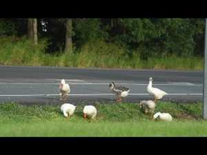 Geese go walk about