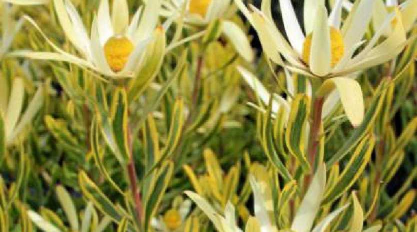 Leucadendron 'Pot of Gold' is a lovely variety from Ausflora Pacific (www.ausflorapacific.com.au)