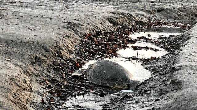 Mature turtles have been found washed up around Seaforth.