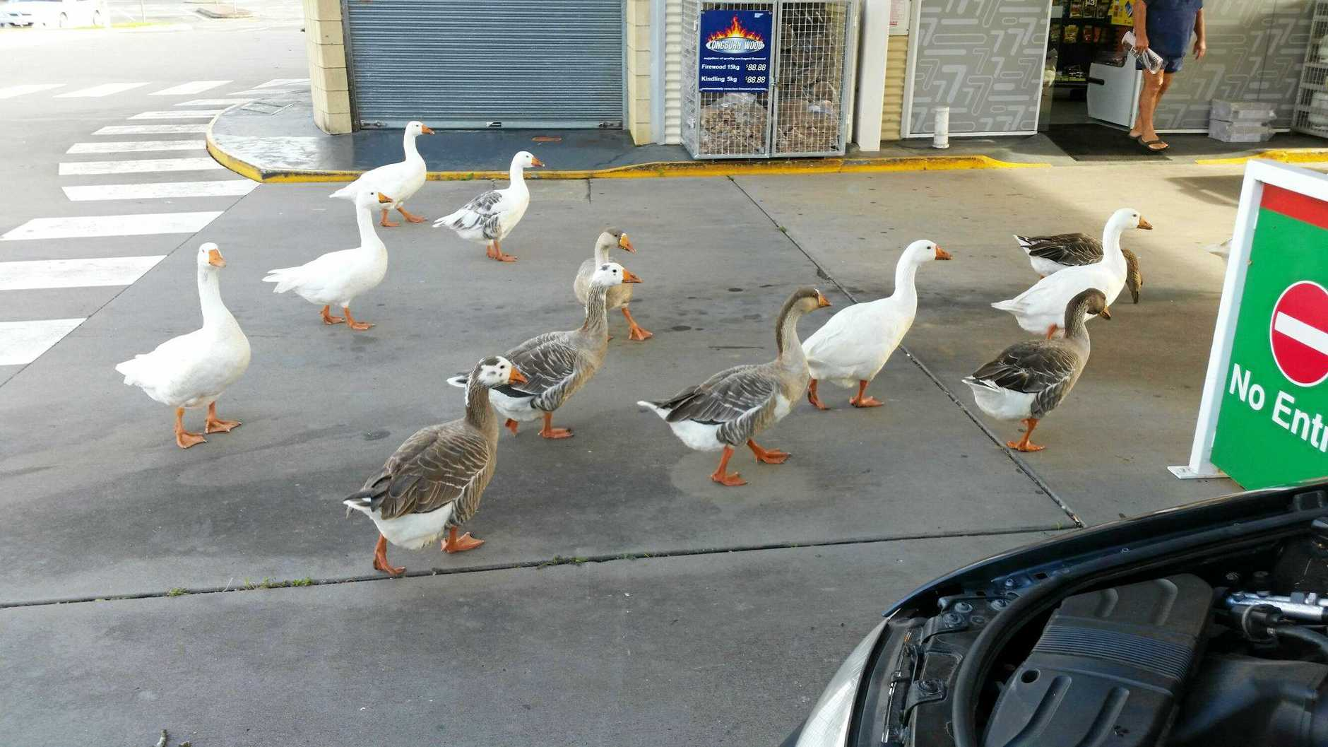 Brian George snapped this picture of wandering Geese at the Puma petrol station.