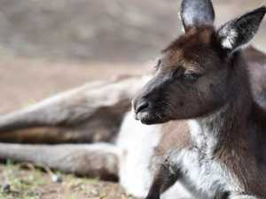 Kangaroo killed in Chinese zoo by visitors
