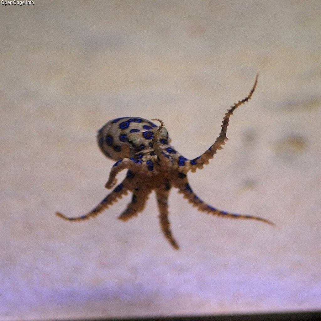 A blue ringed octopus.