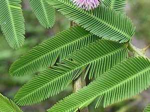 'Bashful plant' to blame