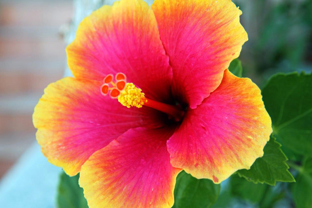 COLOUR YOUR WORLD: A classic hibiscus.