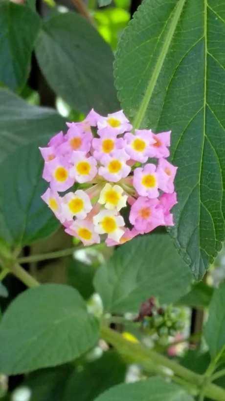 Photo of a Lantana plant.