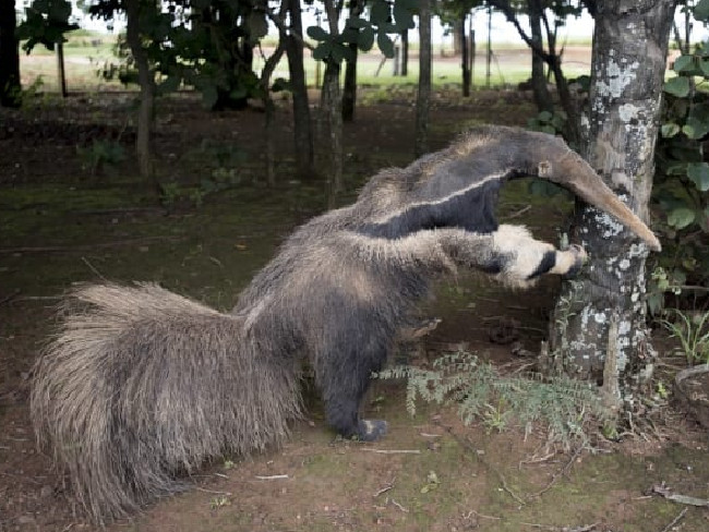 The stuffed anteater that was displayed at the entrance of the park. Picture: London Natural History Museum