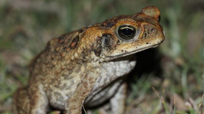 Cane toads are shrinking in Cairns as their long-limbed family members leg it to the NT, WA