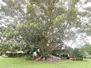 Historic fig tree gets a last-minute lifeline