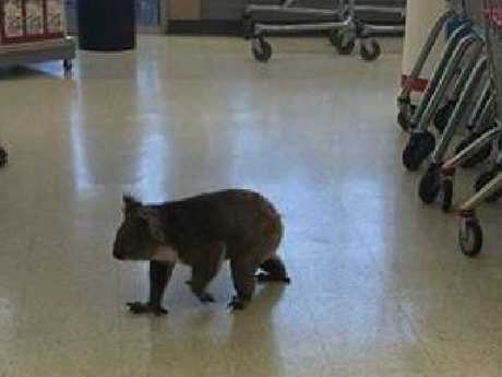 Shoppers whipped out their smartphones to capture the moment when the marsupial ambled through the store. Picture: Coles