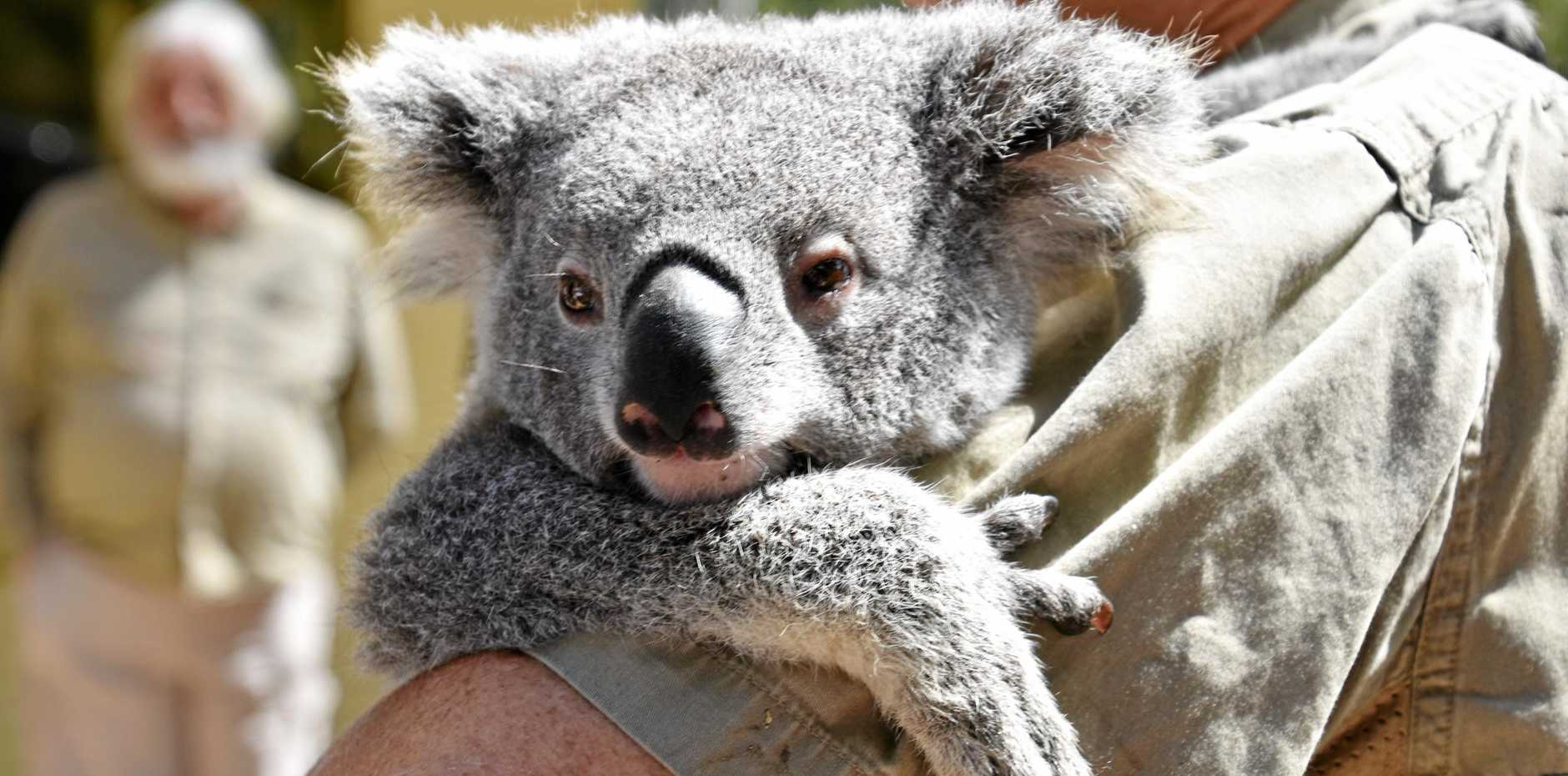 Northern Rivers volunteer group, Friends of the Koala, has become a major contributor to Australian health research on threatened koala populations.