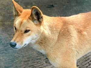 Dingoes sighted at Yeppoon school